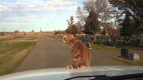 Daredevil Cat Rides On Hood Of Car - YouTube